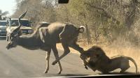 Impactantes imágenes de león devorando antílope frente a safari