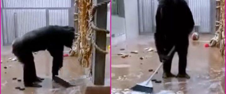 (VIDEO) Curioso chimpancé limpia su jaula con cepillo y jabón